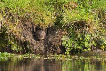 Фотографии водяных полевок