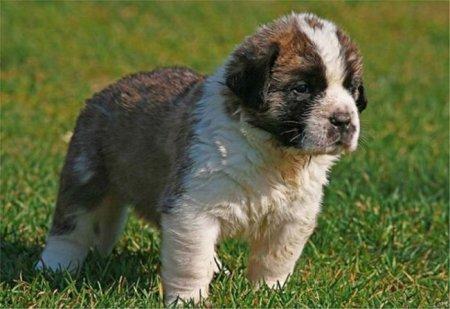 Взрослые собаки и щенки