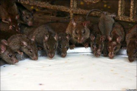 Крысинные храмы в Индии