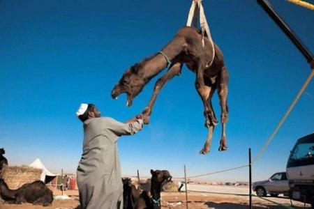 Из жизни верблюдов