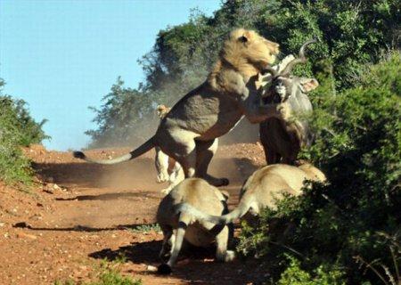 Антилопа против голодных львов