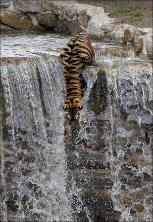 Тигр спасается от жары