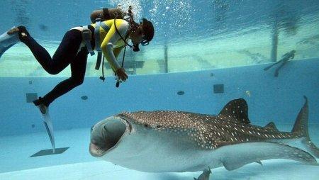 Кормление китовой акулы