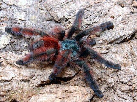 Самый красивый паук-птицеед