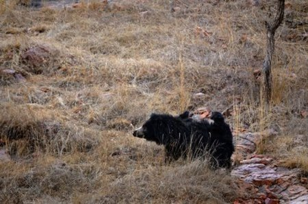 Медведица против тигра