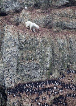 Медведь - скалолаз