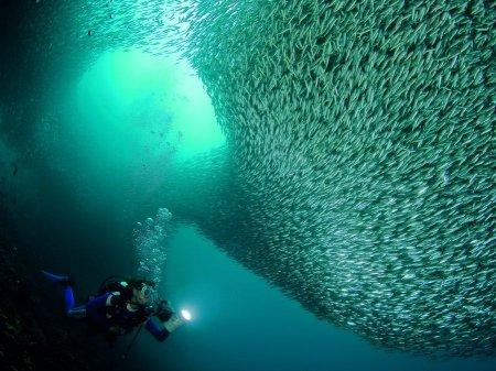 Большие косяки рыб