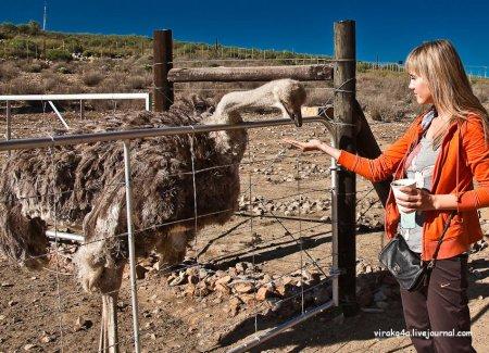 Страусиная ферма в ЮАР
