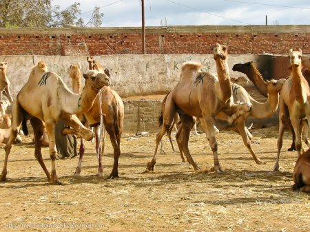 Биркаш - самый крупный верблюжий рынок в Северной Африке