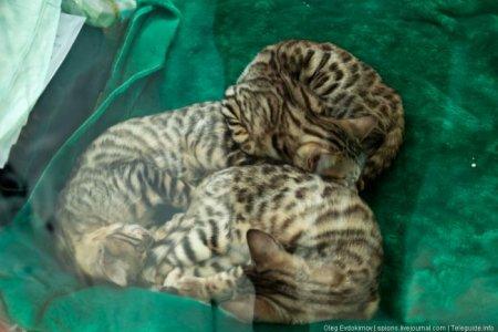 """Выставка кошек """"Экспокот 2011"""""""