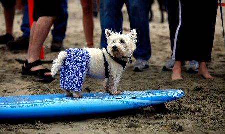 Соревнования по серфингу для собак