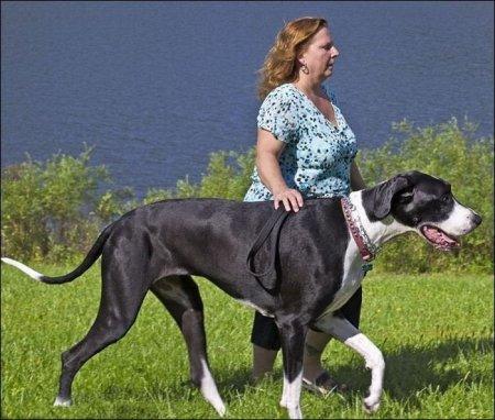 Самая высокая собака