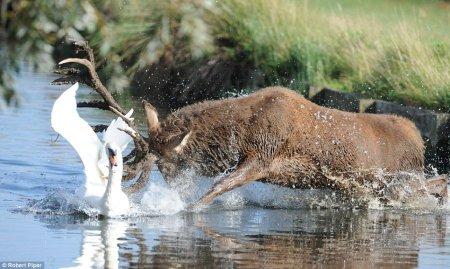 Драка оленя и лебедя