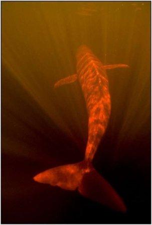 Розовые дельфины