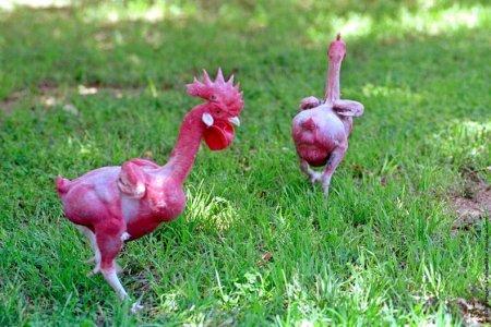 Бесперые курицы