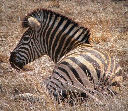 Черная полоска, белая полоска - зебры