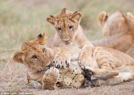 Игрушка для львов