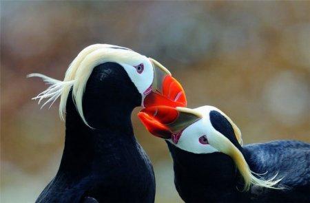 Русские пингвины - топорки