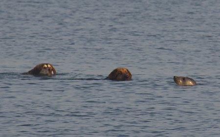 Морской котик играет с собаками