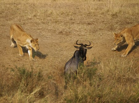 Львы из заповедника Масаи-Мара