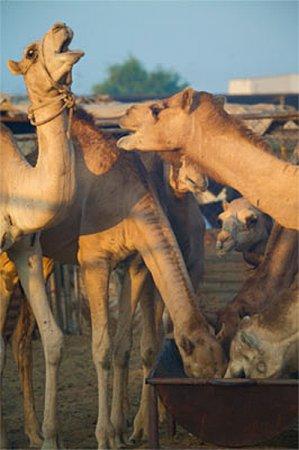 Верблюды среди людей