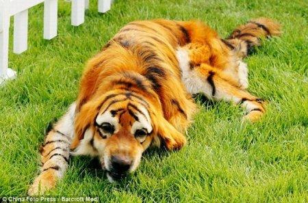 Собаки цвета тигра и панды