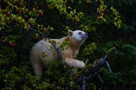 Редкий бурый медведь-альбинос