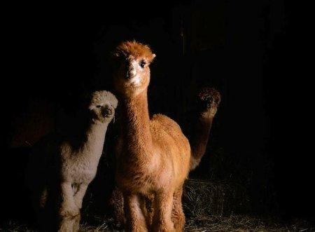 Портреты деревенских животных