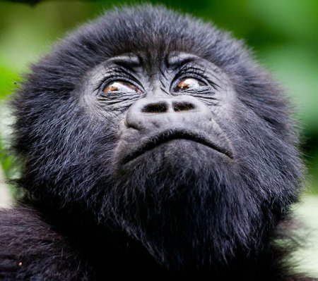 Горные гориллы