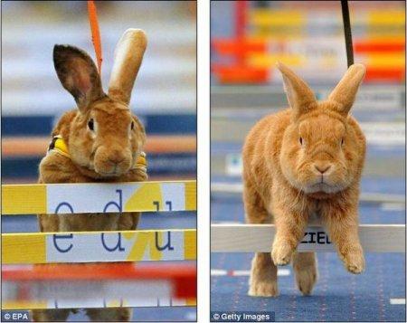 Чешский кролик стал чемпионом Европы среди ''ушастых спортсменов''