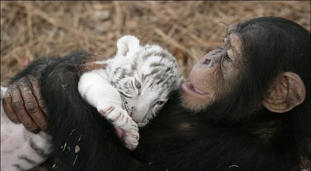 Приемная мама для тигрят