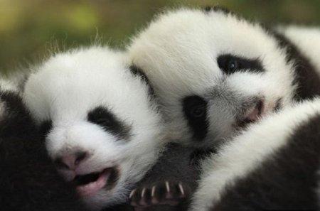 Эти удивительные панды