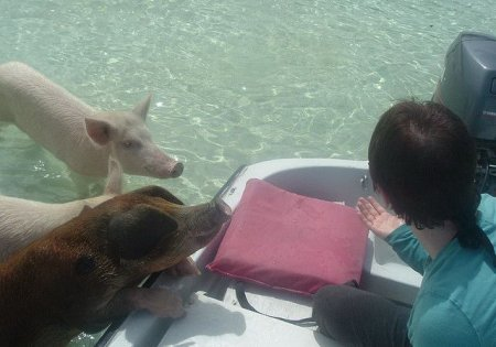 Пляж для свиней