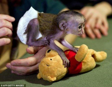 Брошенную мартышку выхаживают сотрудники зоопарка