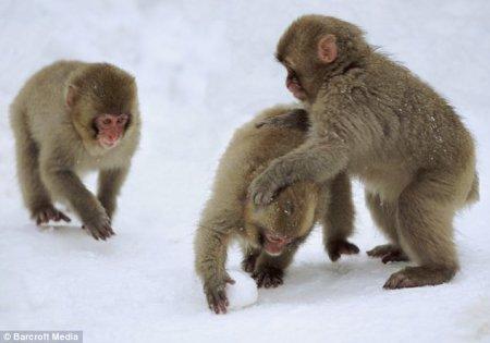 Обезьяны умеют играть в снежки!