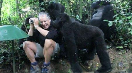 Семейство горных горилл атакует туриста