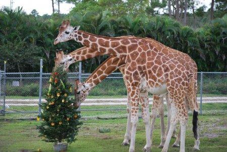 Рождественская елка для жирафов