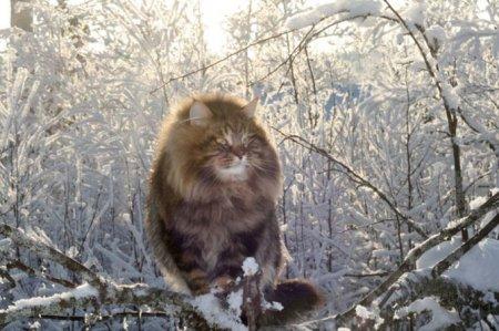 Сибирский царь котов