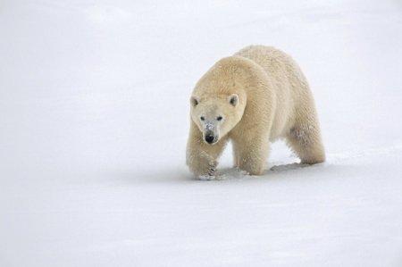 Рождественские белые медведи