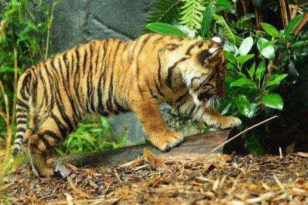 Три суматранских тигренка в Сиднейском зоопарке