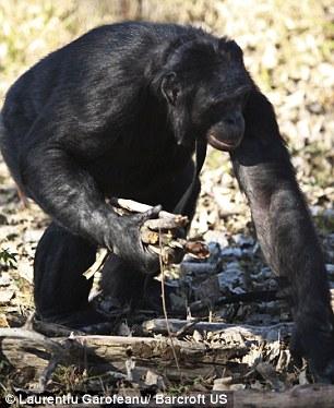 Шимпанзе научился пользоваться огнем