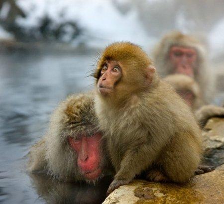 Японские макаки от Эдуарда Войнича