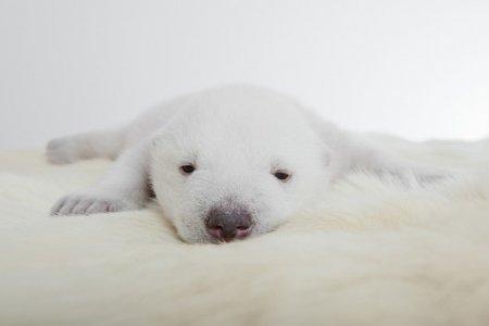 Белый медвежонок Сику - звезда фотографов