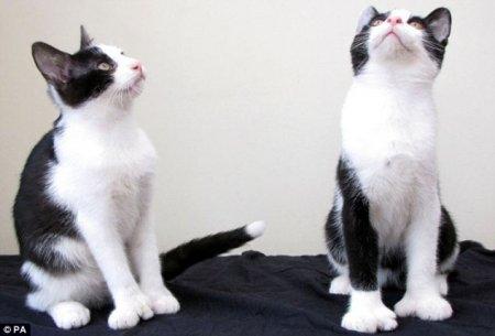 Многопалые котята