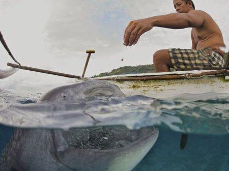 Кормежка китовых акул с рук