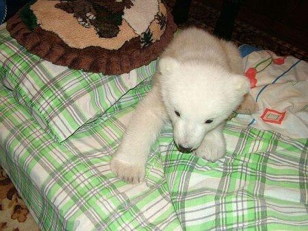 Спасение полярного медвежонка