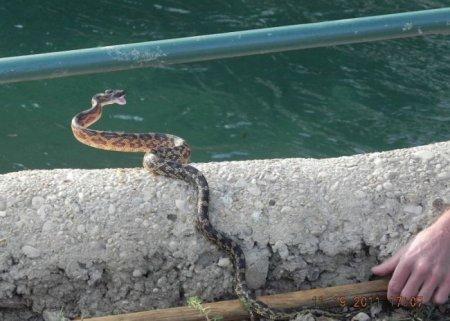 Жестокая схватка сокола со змеей