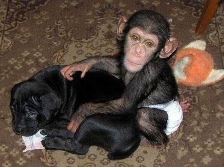 Для маленького шимпанзе собака заменила мать