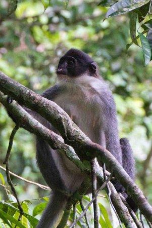 На острове Борнео найдена обезьяна, которую cчитали вымершей