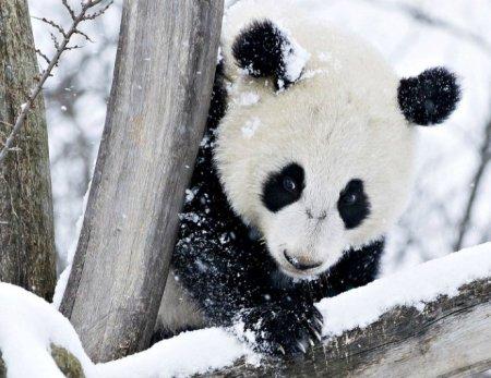 Детеныш панды радуется снегу